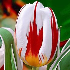 ''Le Festival canadien des Tulipes bat son plein''