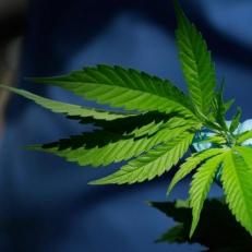 Tout savoir sur les modalités d'achat en ligne de la marijuana en Ontario